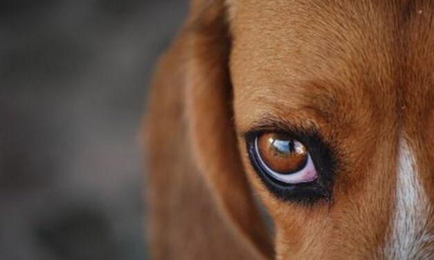 L'expérimentation animale, une aberration scientifique
