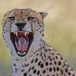 La faune africaine vue par Dominique Haution et Laurent Renaud