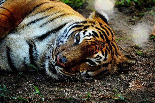 Les tigres, derniers seigneurs de l'Inde