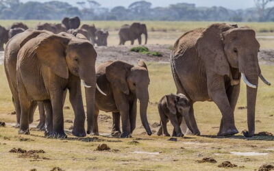 Amboseli : un modèle pour la conservation des éléphants d'Afrique